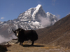 Nepal - Dingboche: yak - Bos grunniens - Everest Base Camp Trek - photo by M.Samper