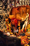 Kathmandu, Nepal: calf with garland for the festival of Lights and colors, the Tihar - photo by W.Allgöwer
