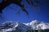 Annapurna circuit, Manang district, border with Mustang, Nepal: tree and Tilicho Peak, 7134 m - Nepalese Himalaya - photo by W.Allgöwer