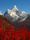 Khumbu region, Solukhumbu district, Sagarmatha zone, Nepal: red plants in front of Ama Dablam mountain - Everest area - photo by E.Petitalot