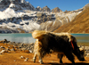 Khumbu region, Solukhumbu district, Sagarmatha zone, Nepal: yak grazing in a front of Gokyo lake - photo by E.Petitalot