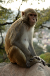 Kathmandu, Nepal: Swayambhunath Stupa - monkey - photo by G.Koelman
