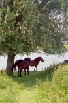 Netherlands - Zoetermeer: horses at the Buytenpark (photo by M.Bergsma)