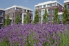 Netherlands - Zoetermeer: Dutch architecture and agriculture - lavender field (photo by M.Bergsma)