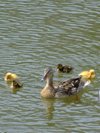 Netherlands - South Holland - Dordrecht - duck with ducklings - photo by M.Bergsma