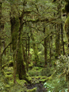 29 New Zealand - South Island - Fiordland National Park - tree trunks covered in moss- Southland region (photo by M.Samper)