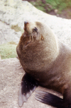 New Zealand - South island - Cape Foulwind: young seal at Cape Foulwind colony - photo by Air West Coast