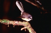 New Zealand - fantail on branch - photo by Air West Coast