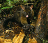 New Zealand - possum in trap - photo by Air West Coast