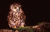 New Zealand - Southern Boobook - Ninox novaeseelandiae - mopoke - morepork on branch - photo by Air West Coast