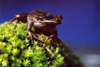 New Zealand - Whistling Tree Frog - Litoria Ewingii - ready to jump off moss - photo by Air West Coast