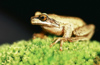 New Zealand - whistling tree frog on green moss - photo by Air West Coast