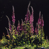 New Zealand - Backlit foxgloves - Digitalis - photo by Air West Coast