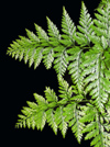 New Zealand - Fern on black background - photo by Air West Coast