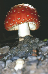 New Zealand - Fly Agaric Toadstool - Amanita muscaria - poisonous and psychoactive mushroom - basidiomycete fungus - photo by Air West Coast