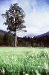 New Zealand - tree in paddock - black pine - photo by Air West Coast