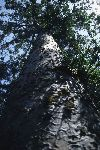New Zealand - Northern North island - Waipoua National Forest - Kaihu: Kauri tree (photographer: Rob Neil)