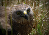 hawk, resting, looking, sitting in the grass - bird of prey - raptor (photographer: Mark Duffy)
