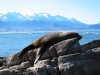 New Zealand - South island - Kaikoura: fur seal (photographer Rod Eime)