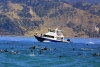 New Zealand - South island - Kaikoura: Dolphin swimming (photographer Rod Eime)