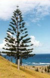 Norfolk island: the Norfolk pine - Araucaria heterophylla (photo by Galen R. Frysinger)