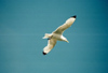 Norway / Norge - Lofoten islands (Nordland): lone seagull (photo by Juraj Kaman)