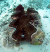 Palau: giant clam - Tridactna - underwater image - photo by B.Cain