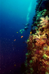 Palau: wall diving - underwater image - photo by B.Cain
