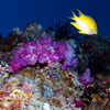 Palau: yellow damsel - fish over the coral - underwater image - photo by B.Cain