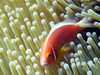 Palau: skunk clownfish - Amphiprion perideraion - Pink Anemonefish in an anenome - anemonefish are immune to the stinging arms of an anemone - underwater image - photo by B.Cain