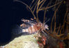 Palau: lionfish - underwater image - photo by B.Cain