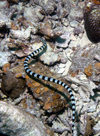 Palau: striped sea snake - underwater image - photo by B.Cain