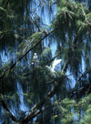 Anguar island, Palau: white birds on a tree - photo by M.Sturges
