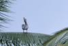 Pelican on a palm tree - Isla Grande, Col�n, Panama, Central America - photo by H.Olarte