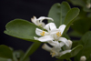 Panama province - Citrofortunella microcarpa flowers - Calamondin or Kalamansi - photo by H.Olarte