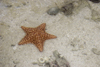 Galeta Island, Col�n province, Panama: orange star fish, Smithsonian Tropical Research Institute, Galeta Point - photo by H.Olarte