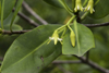 Galeta Island, Col�n province, Panama: mangrove flower, Smithsonian Tropical Research Institute, Galeta Point - photo by H.Olarte