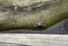 Galeta Island, Col�n province, Panama: crab on a log, Galeta Point - photo by H.Olarte