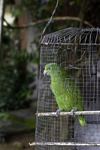 Santiago de Veraguas, Panama: green parrot on a makeshift cage - photo by H.Olarte