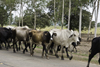 Azuero Peninsula, Los Santos province, Panama: a group of Panamania cowboys guide zebu cattle on the road that connects Divisa and Chitre - photo by H.Olarte