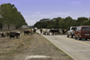 Herrera, Azuero, Los Santos province, Panama: stopping the traffic - cowboys guiding a group of cows to a new location - photo by H.Olarte