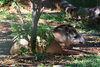 Asunci�n, Paraguay: South American Tapir in the shade - Tapirus terrestris - Anta - Asunci�n zoo - photo by A.Chang