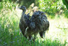 Asunci�n, Paraguay: Nandu, Rhea americana - flightless bird, with unkeeled sternum - Asunci�n zoo - photo by A.Chang