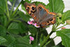 Asunci�n, Paraguay: Paraguay: butterfly taking nectar from a small flower - photo by A.Chang