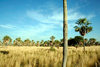 Presidente Hayes department, Paraguay: Gran Chaco - grassland and palm trees - photo by A.Chang