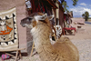 Cuzco, Peru: llama in the city, near market stalls - photo by C.Lovell