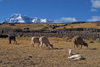 Ausangate massif, Cuzco region, Peru: alpaca in a corral on the high Altiplano below the mighty Andean peak of Auzangate, 20,900 ft (Quechua: Awsanqati) - mountain of the Cordillera Blanca range in the Andes - photo by C.Lovell