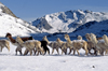 Ausangate massif, Cuzco region, Peru: a herd of snow dusted Alpacas pass by Laguna Jatun Pucacocha – sunny day on the Ausangate Trek - Peruvian Andes - photo by C.Lovell
