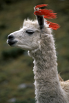 Llullchapampa, Cuzco region, Peru: close-up of white Llama with tassels- Inca Trail - photo by C.Lovell