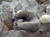 Peru - Islas Ballestas / Ballesta islands, Ica region, Peru: seal on the rocks - photo by M.Bergsma